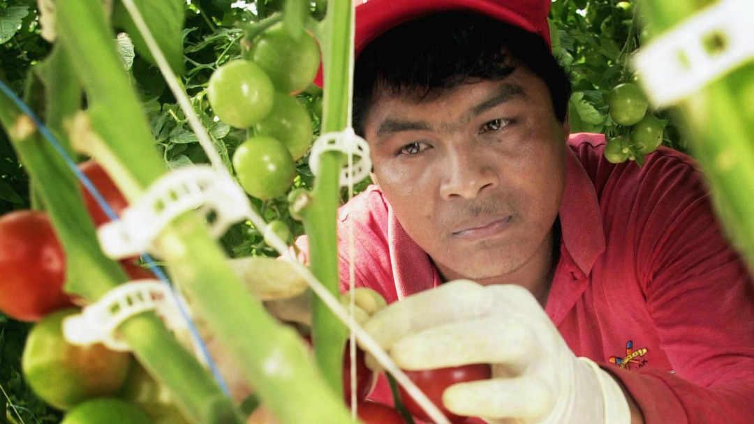 В Канаде сельскохозяйственные работники требуют постоянного иммиграционного статуса