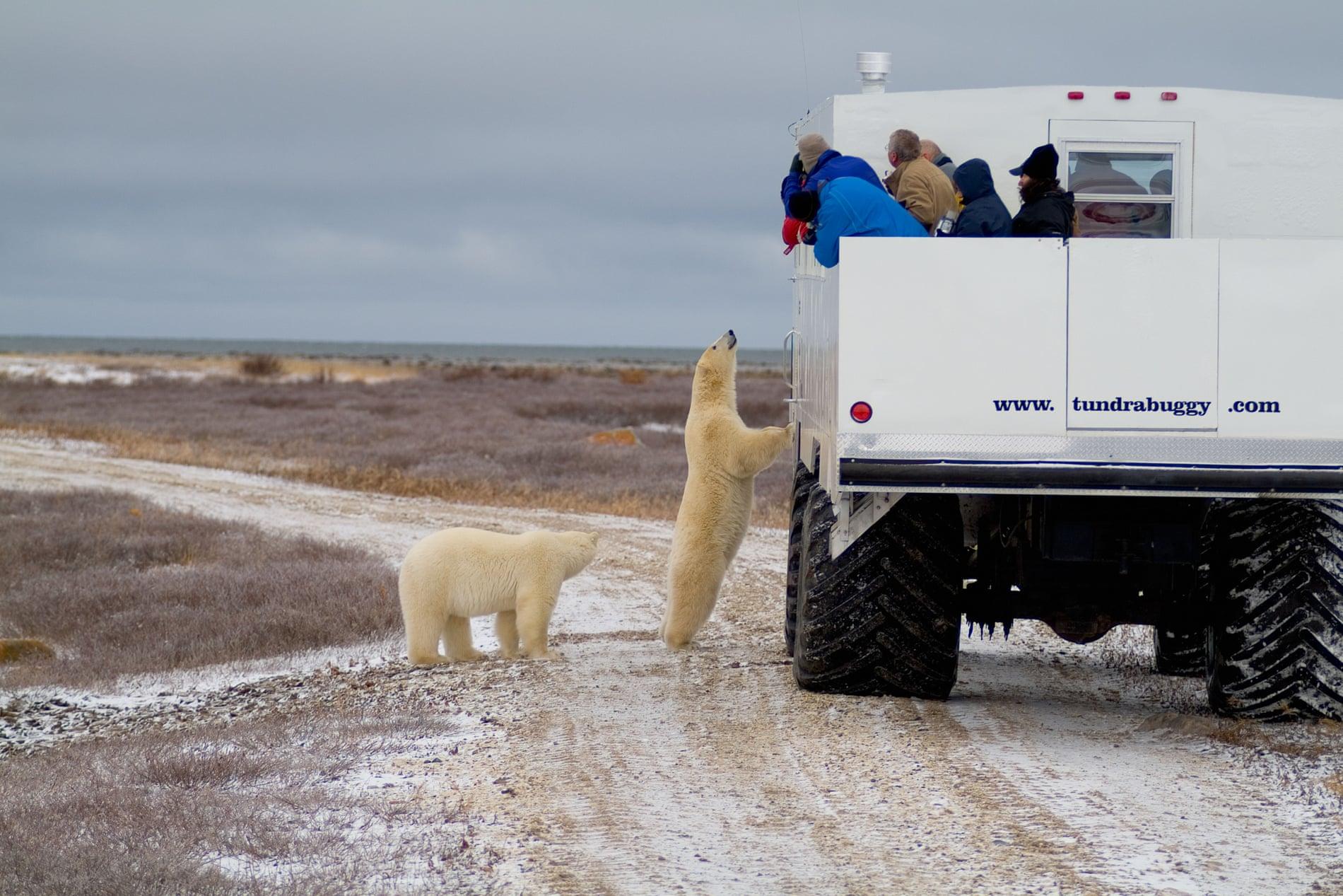 Каково это: жить бок о бок с белыми медведями