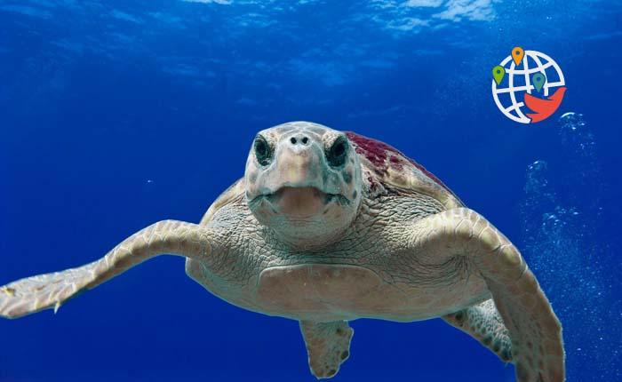На Мальдивах разыскивают спасателя черепашек