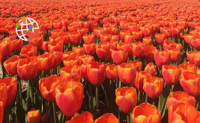 Ферма тюльпанов в Оттаве скоро начнет принимать гостей