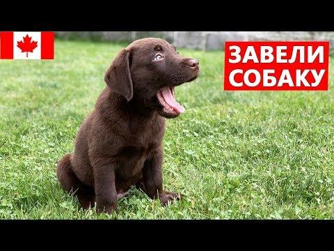 Завели собаку - шоколадный лабрадор Рекс